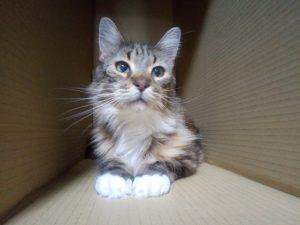 猫画像 メインクーン